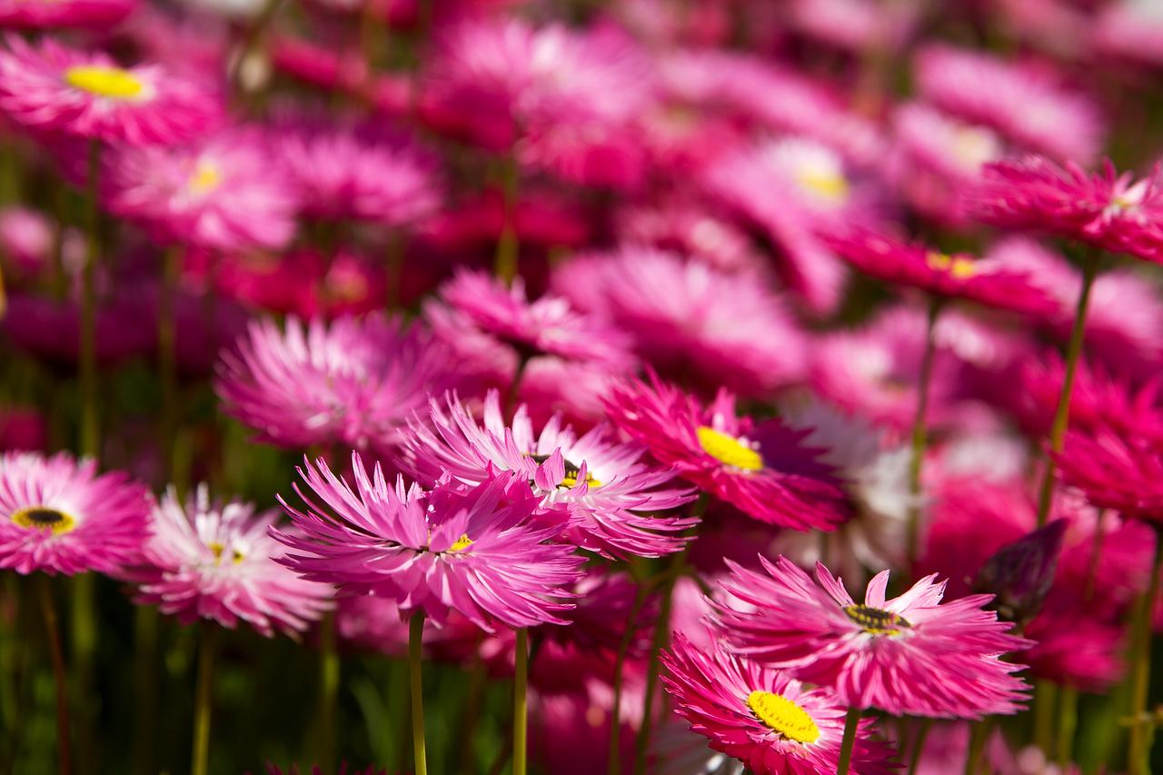 Pink paper daisy garden