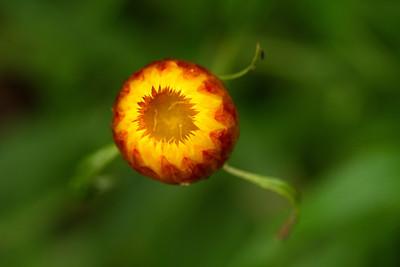 Xerochrysum Viscosym - Golden everlasting daisy