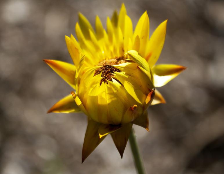 Yellow Daisy - Asteraceae