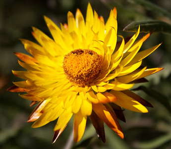 Yellow Daisy - Asteraceae