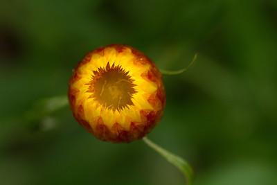 Xerochrysum Viscosym; Golden Everlasting Daisy