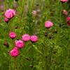 Pink daisies Rhodanthe chlorocephala