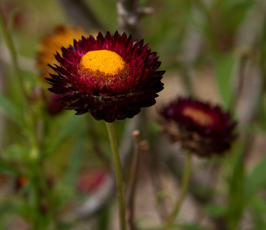 Red Everlasting Daisy, Xerochrysum viscosym, Asteraceace Family