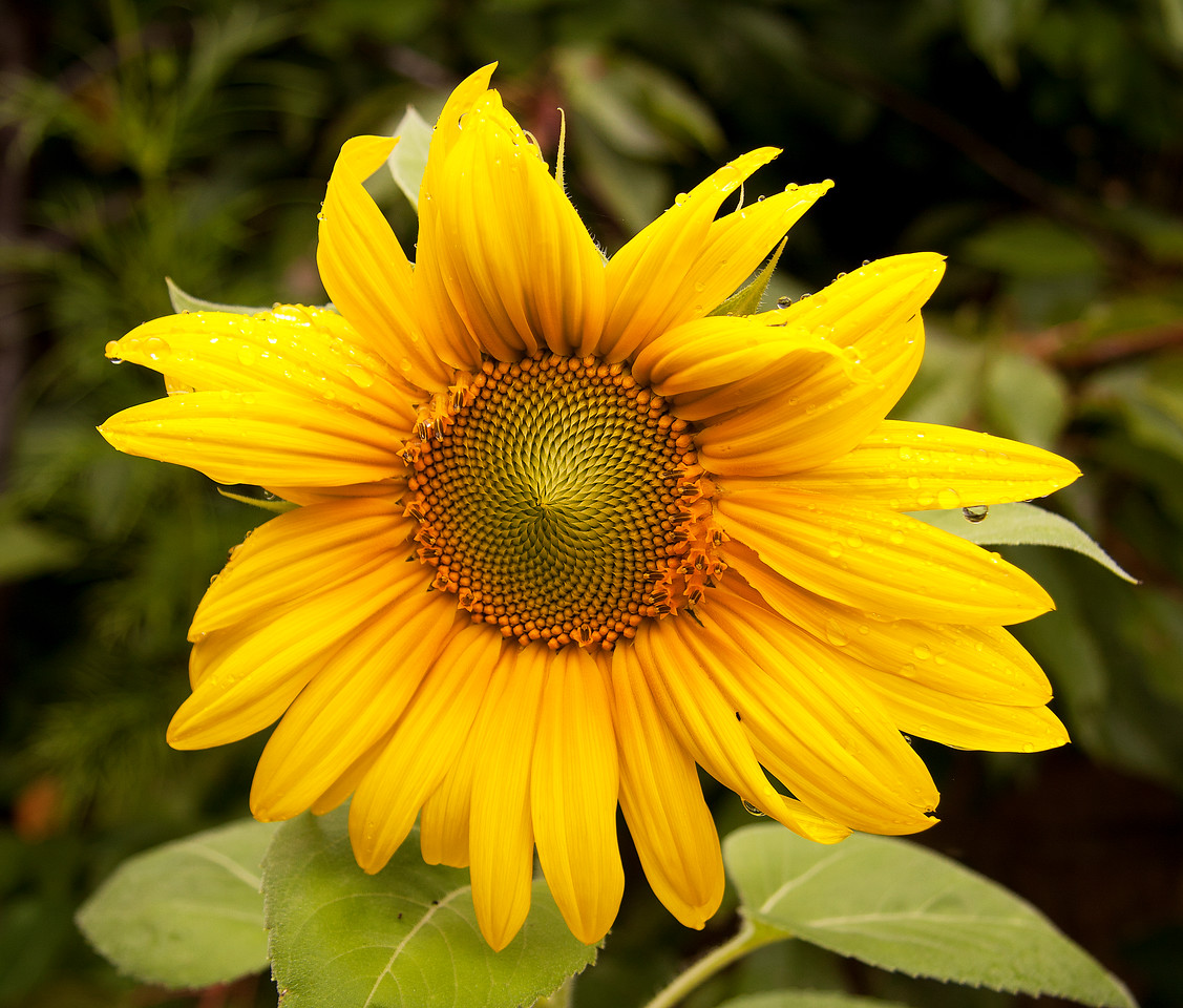 Sunflower - Helianthus annuus, ASTERACEAE Family