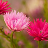Pink daisies; Rhodanthe chlorocephala