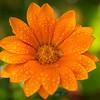 Gazania daisy - ASTERACEAE Family