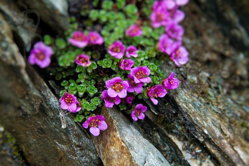 RBP IMG_2578 Purple Flowers Perserverance Trail Juneau AK