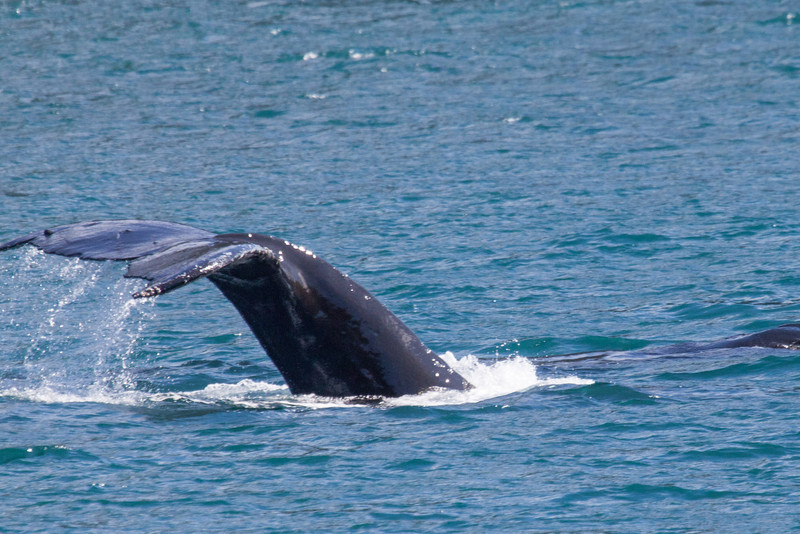 Whale diving in Juneau, Alaska.