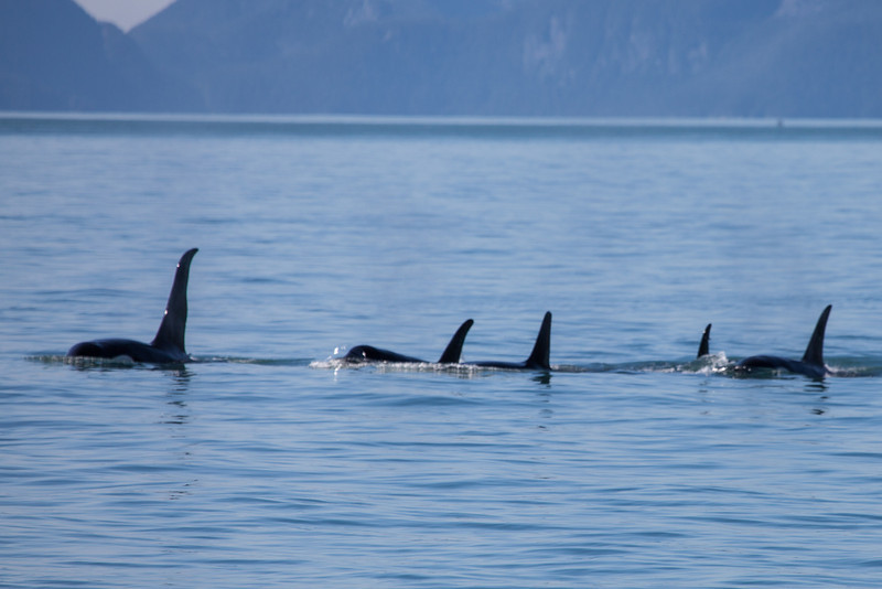 Pod of orcas on the hunt.