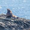 Bull seal in Prince William Sound, Alaska.