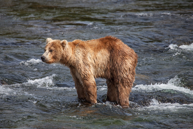 Bear on the lookout for salmon.