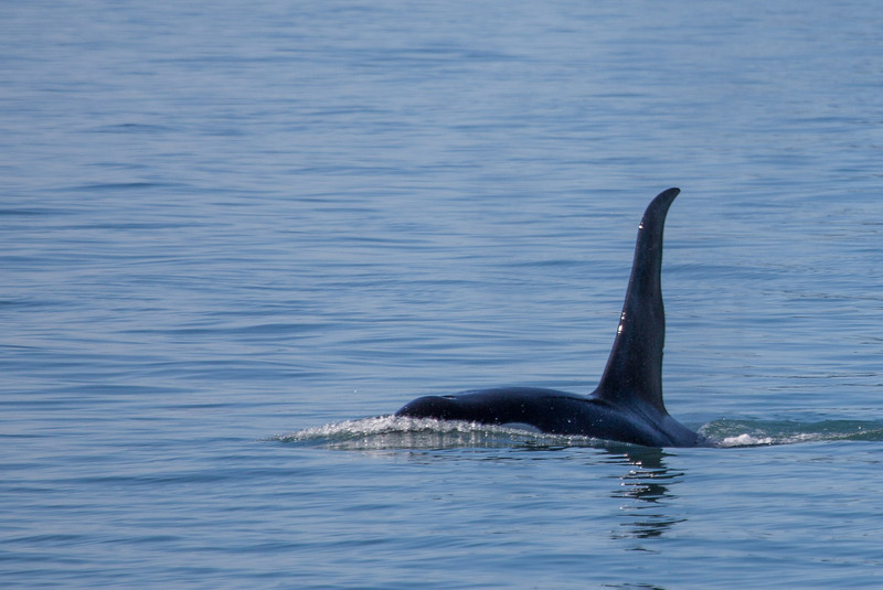 Orca in the harbor.