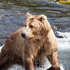 Majestic pose! Brooks Falls, Alaska