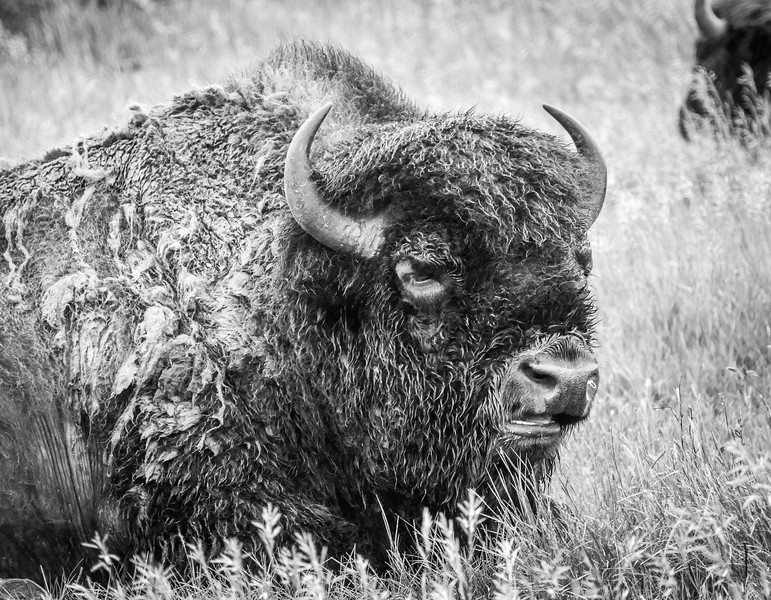 Bison at Oxbow Overlook