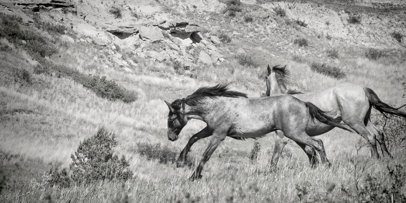 """Two of the wild horses of the South Unit of the Theodore Roosevelt National Park.<br /> <br /> You can own this image as a print, or other product. Just click """"buy"""" to browse products available with this image."""