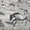 "Two of the wild horses of the South Unit of the Theodore Roosevelt National Park.<br /> <br /> You can own this image as a print, or other product. Just click ""buy"" to browse products available with this image."