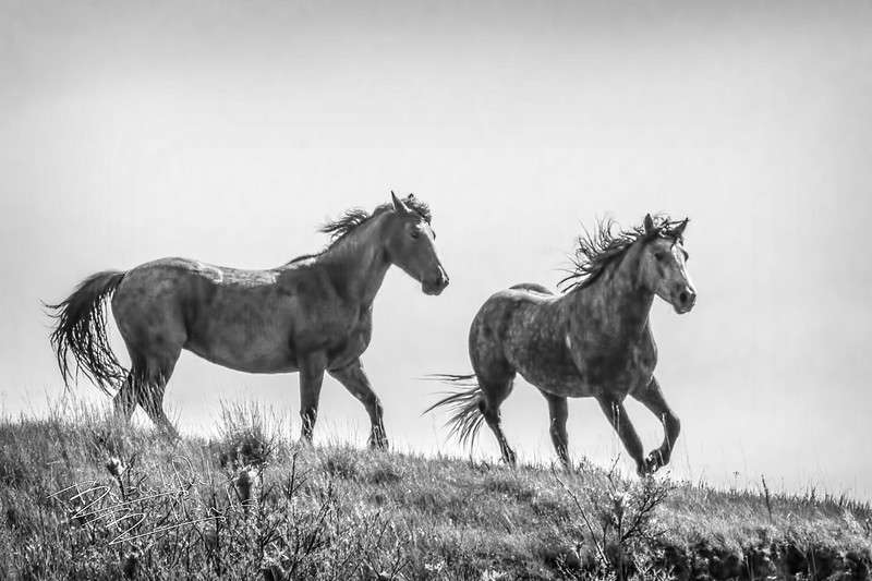 Two of the wild horses in the south unit of the Theodore Roosevelt National  Park.