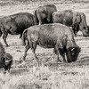 """Bison at the South Unit of the Theodore Roosevelt National Park.<br /> <br /> <br /> You can own this print as wall decor or other products.  Click the """"buy"""" button to browse."""