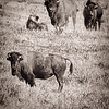 Three of four bison look at camera