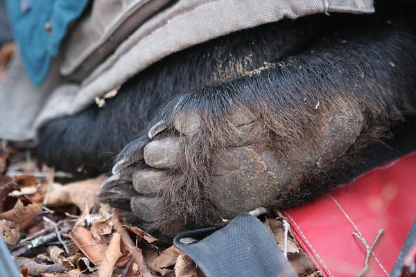 Bear Louisiana Black Bear