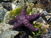 "Ochre sea star (Pisaster ochraceus), near McInnes Island, BC.  (This is a 'wild' sea star photographed near McInnes Island, which is a manned lighthouse near the Inside Passage up the coast of British Columbia.  A photo of the lighthouse can be seen here: <a href=""http://goo.gl/op4XM"">http://goo.gl/op4XM</a>).<br /> <br /> Piaster is a keystone species, and is considered an important indicator for the health of the intertidal zone. They feed on mussels and other sea shells. Keystone species play a critical role in maintaining the structure of an ecological community, affecting many other organisms in an ecosystem and helping to determine the types and numbers of various other species in the community.  If the sea star is removed from the ecosystem, the mussel population explodes uncontrollably, driving out most other species.  Fortunately, we saw lots of these in the coastal water of Northern BC.<br /> <br /> For other intertidal photos (leather star, dead man's fingers, rockweed, giant kelp with kelp crab, sea lettuce) see here: <a href=""http://goo.gl/op4XM"">http://goo.gl/op4XM</a>"
