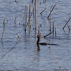 Great Cormorant?