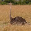 062_20130821_115335_Africa_6963_024_OstrichFem