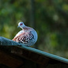 084a_20130820_080559_Africa_6630_422_SpeckledPigeon