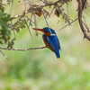 056_20130818_123709_Africa_6358_772_MalachiteKingfisher