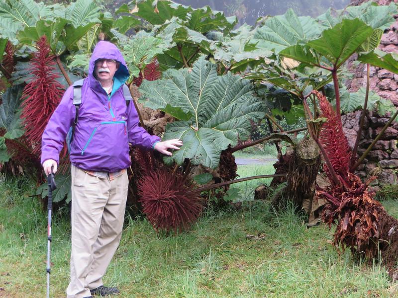 Gunnera insignis<br /> Sombrilla de Pobre - Poor Mans Umbrella<br /> Turner Sharp<br /> Volcan Poas National Park, Poas, Alajeula, Costa Rica<br /> Photo by Susan Sharp 2/11/2014