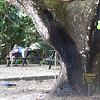 Cenizaro, Rain Tree<br /> # x 57.2' (17.4 m) x #<br /> Playa Gemelas, Manuel Antonio National Park, Quepos, Aguirre, Puntarenas, Costa Rica<br /> Susan Sharp<br /> Photo by Turner Sharp 2/19/2014