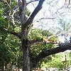 Cenizaro, Rain Tree<br /> # x 57.2' (17.4 m) x #<br /> Playa Gemelas, Manuel Antonio National Park, Quepos, Aguirre, Puntarenas, Costa Rica<br /> Photo by Turner Sharp 2/19/2014