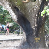Cenizaro, Rain Tree<br /> # x 57.2' (17.4 m) x #<br /> Playa Gemelas, Manuel Antonio National Park, Quepos, Aguirre, Puntarenas, Costa Rica<br /> susan Sharp, Unknown, Unknown<br /> Photo by Turner Sharp 2/19/2014