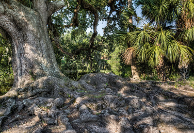 bayou-tree-roots-1