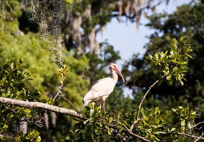 ibis-bird-1