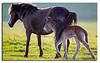 Exmoor Ponys from Gulstav Mose, Langeland.
