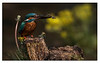 55. Kingfisher with Dragonfly.