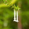 Epacris Longiflora, Epacridaceae family