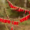 Epacris impressa - Ericaceae Family