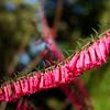 Common heath - Epacris Impressa, Eparidaceae family