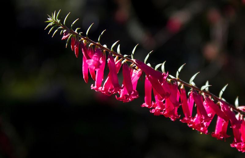 Common Heath - Epacris Impressa (Eparidaceae)