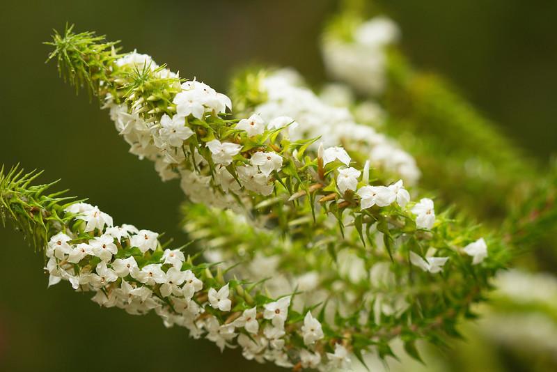 Woollsia pungens - Epacridaceae