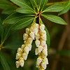 Pieris Japonica, Japanese Pieris, Lily-of-the-valley shrub
