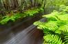 Ferns of Peters Brook