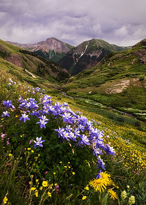 Clear Creek Columbine
