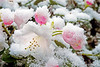Rhododendron in Snow