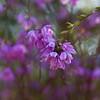 Blue Leschenaultia biloba