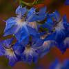 Lechenaultia biloba, Blue Lechenaultia