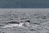 Humpback whale tail 6, Squally Channel, Gill Island, mid-coast British Columbia