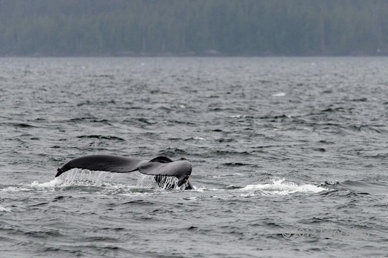Humpback-whale-tail-4,-Squally-Reach,-mid-coast-British-Columbia